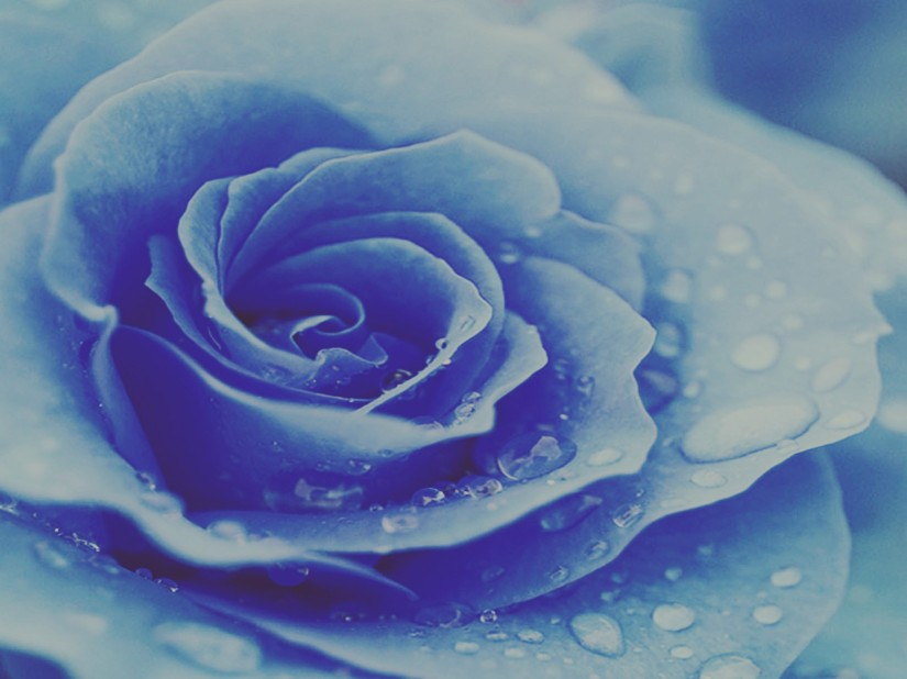 Blue Rose Wallpaers 5