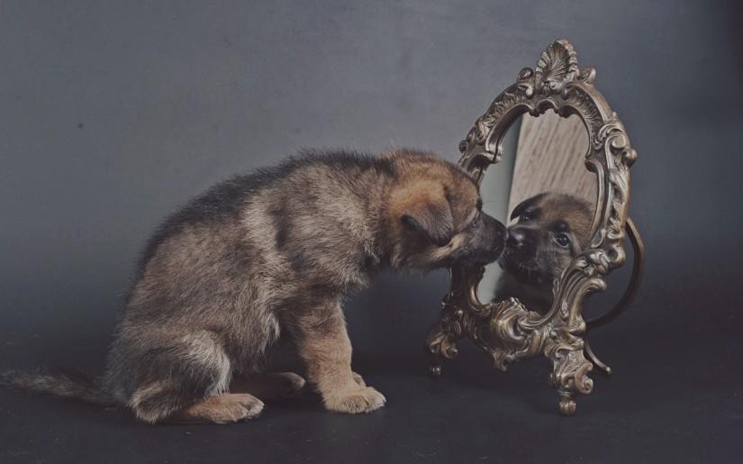 Dogs_Puppy_Shepherd_447013