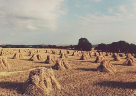 Thatching-straw-varieties